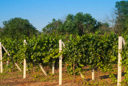and the stakes: vines tied to stakes in the vineyards