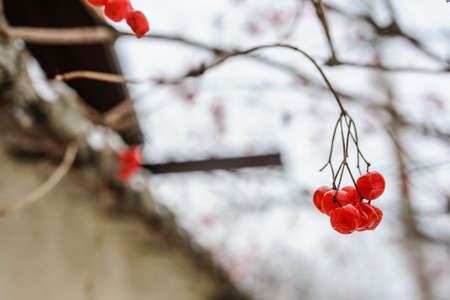 sorbus: Branch with bunches of rowan berries under snow in the winter. A beautiful red and white winter background. Sorbus aucuparia