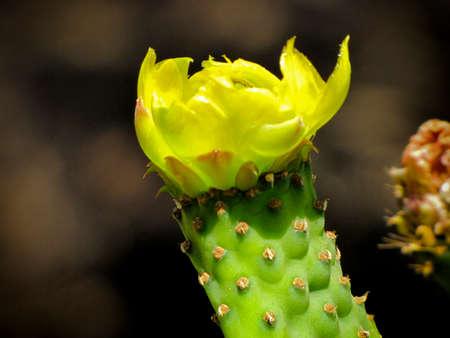 flor: Flor de nopal Editorial