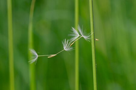 the dandelion seeds are linked together