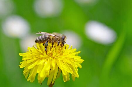 Little bee in the meadow on yellow blossom
