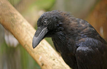 a raven is a handsome black bird Standard-Bild