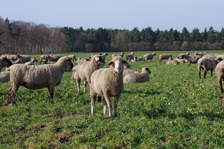 a flock of sheep in the spring on the meadow