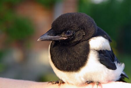 Close-up of a young magpie