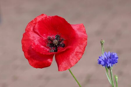 cornflower and poppy are field flowers