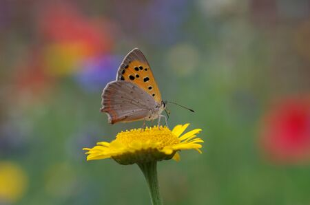 Little butterfly is sitting in the colorful flower meadow