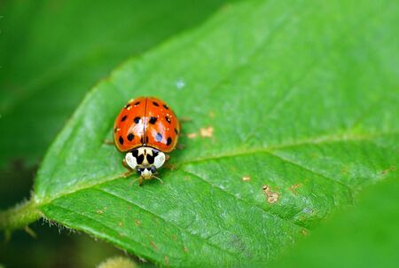 little red beetle with black dots