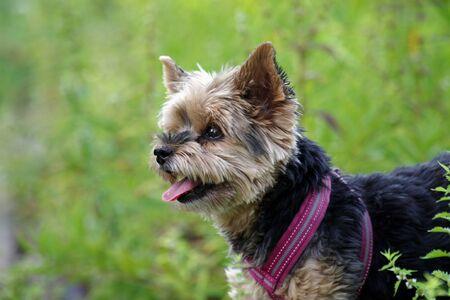 portrait of the little yorkshire terrier