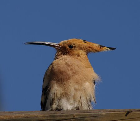 pretty hoopoe in front of blue sky