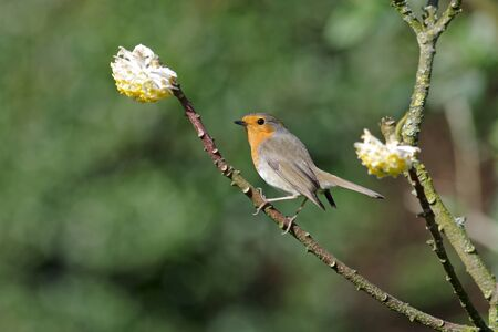 pretty robin sits on a bush with yellow flowers