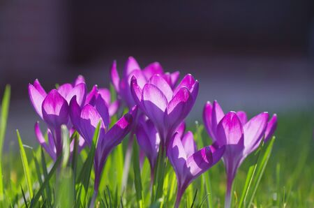 purple crocuses the first spring messengers