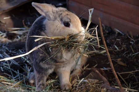 rabbit collects straw for her nest