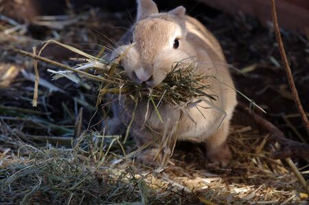 rabbit with lots of straw in their mouths Standard-Bild