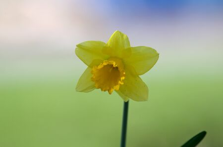 single yellow daffodil against colorful background