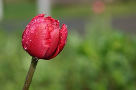 single, red tulip with raindrops