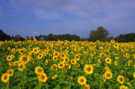 sunflower field with many yellow flowers