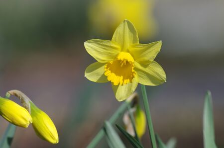 the daffodils appear in bright yellow
