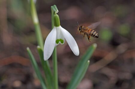 the first bee in the spring