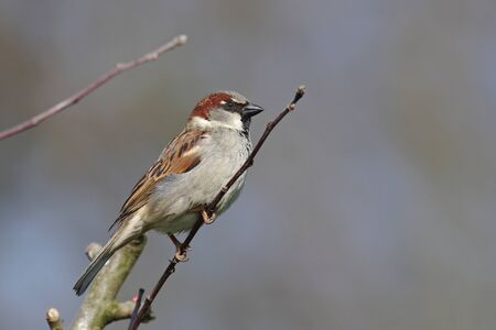 the house sparrow sits on a thin branch
