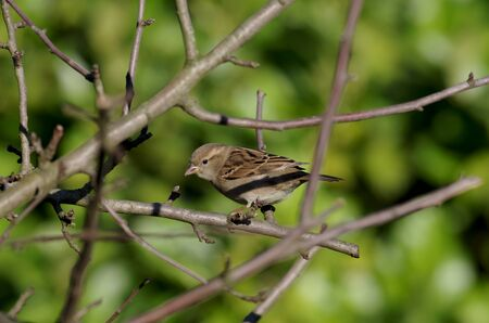 the little brown sparrow sits all alone on a branch