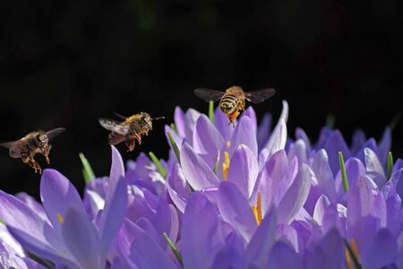 three bees fly over purple crocuses Standard-Bild