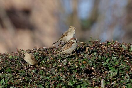 three sparrows are sitting on a bush in the garden
