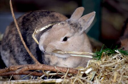 a cute brown rabbit sits in the straw and eats Standard-Bild
