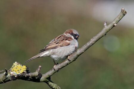 a male house sparrow has a nut in its beak Standard-Bild