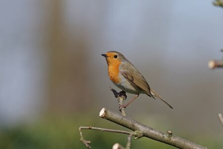 a pretty robin sits alone on a branch