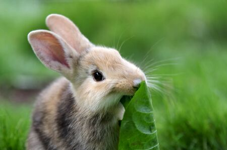 A single brown rabbit sits in the grass and eats leaves