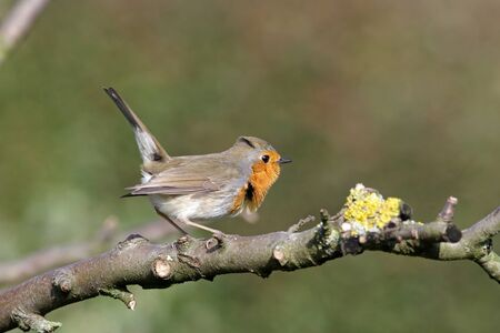 an excited robin in the garden on a tree