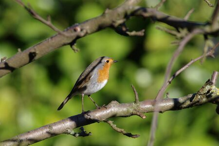 In winter the robins fly into our gardens