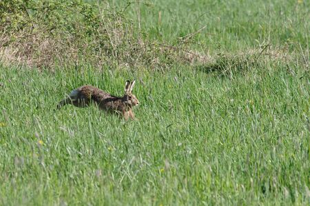 a hare escapes in the green meadow and quickly runs away Standard-Bild