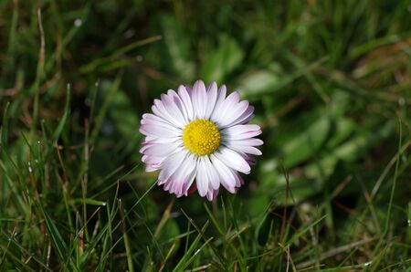 a single daisy in the grass