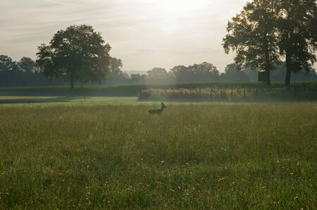 in the morning a roebuck stands in the meadow