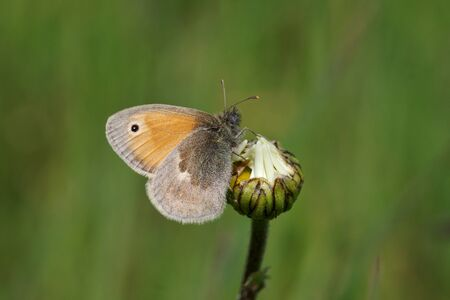In the summer meadow sits a small, brown butterfly