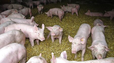 many pigs stand on straw in the pigsty