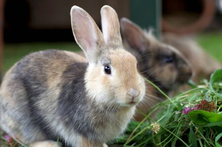 two cute rabbits eat a lot of fresh green grass