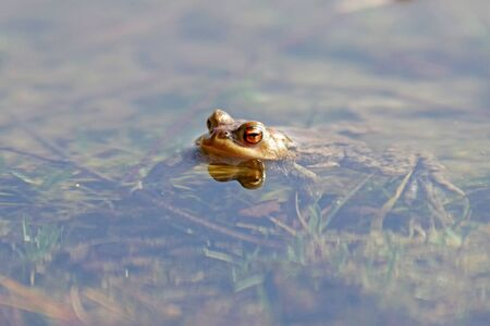 a single common toad swimming in the clear water of the lake