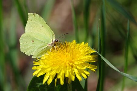 A pretty yellow butterfly sits on a yellow dandelion flower Standard-Bild