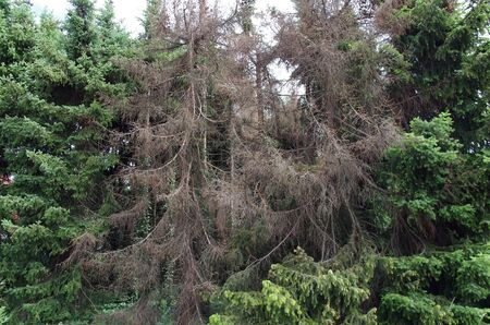 Several spruces are infected by the bark beetle and die