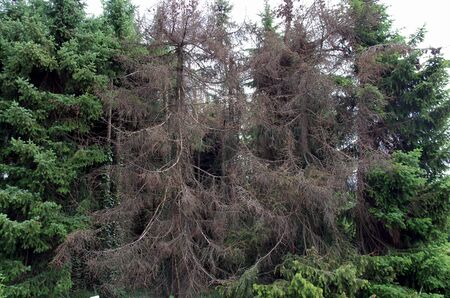more and more spruces turn brown because they are affected by bark beetles