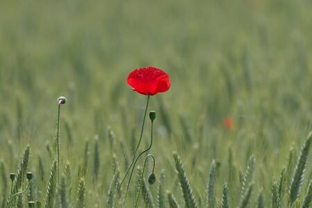 a single red poppy in a grain field