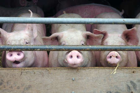Three pigs are locked up in the barn and look out through the bars Standard-Bild