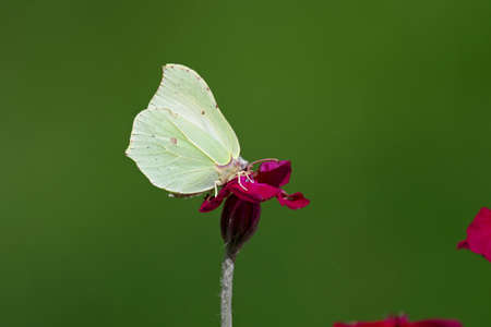 a yellow butterfly sits on a pink flower, macro shot with green background Standard-Bild