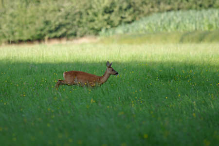 Roe deer runs on a meadow with yellow flowers and stuck out his tongue Standard-Bild
