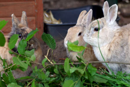 three rabbits eat the fresh leaves of a beech tree Standard-Bild