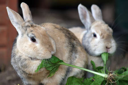 two small brown domestic rabbits eat fresh green leaves Standard-Bild