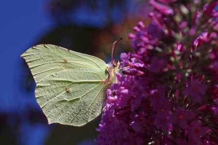 Close up of a yellow butterfly on the lilac, in the background the blue sky