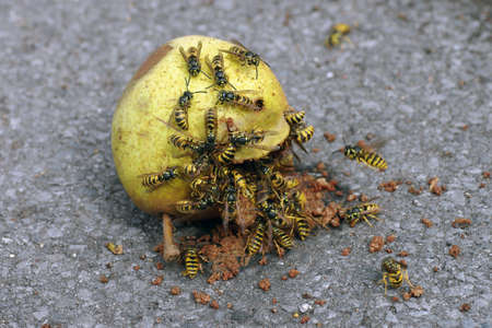 many wasps eat a rotten pear, dangerous insects in summer